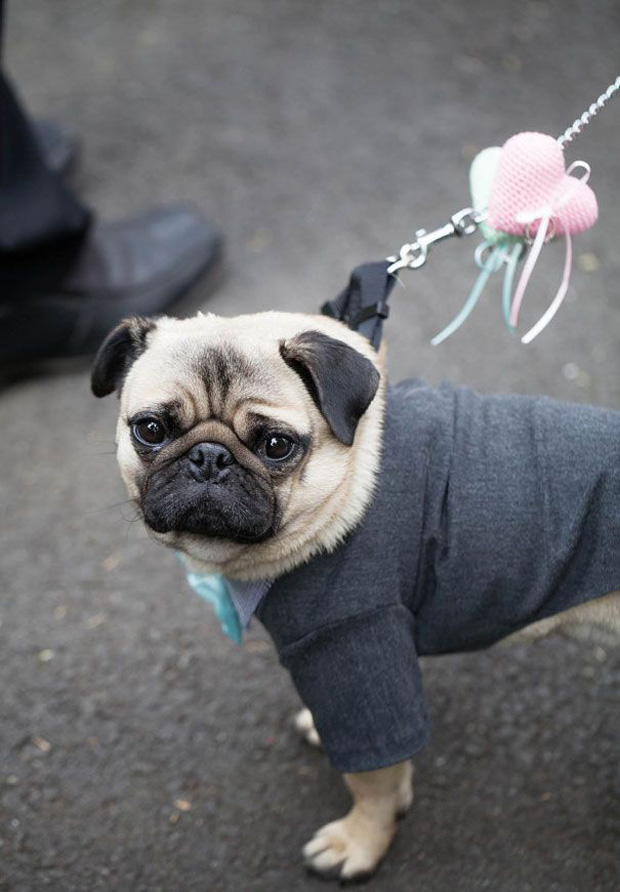doggie suit for wedding