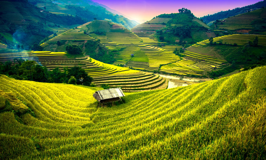 Paddy fields in Vietnam (1)